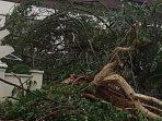 pohon_tumbang