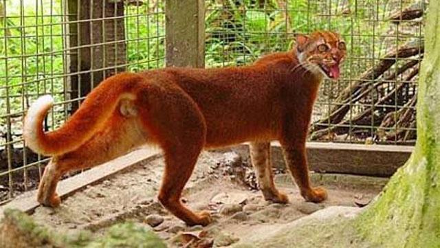 Kucing Emas Yang Hampir Punah Tertangkap Jerat Babi